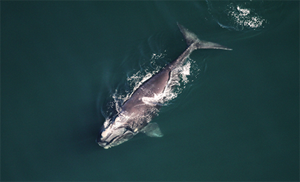 Aerial photo of North Atlantic Right Whale